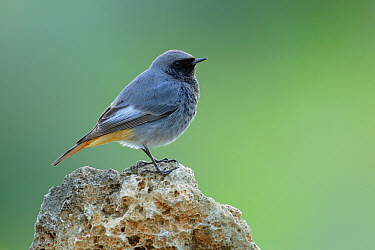 Black Redstart (Phoenicurus ochruros) male, Cadiz, Spain