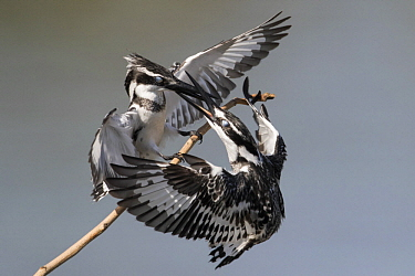 Pied Kingfisher (Ceryle rudis) females fighting for territory, Gambia
