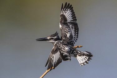 Pied Kingfisher (Ceryle rudis) female landing, Gambia