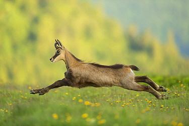 Chamois (Rupicapra rupicapra) running, France