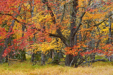 Maple (Acer sp) trees in autumn, Mersey River, Kejimkujik National Park, Canada