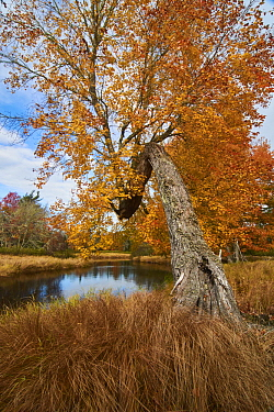 Maple (Acer sp) tree along river in autumn, Mersey River, Kejimkujik National Park, Canada