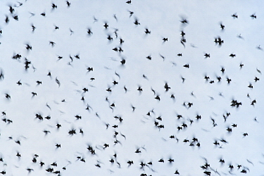 Common Starling (Sturnus vulgaris) flock flying, Catalonia, Spain