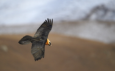 Bearded Vulture (Gypaetus barbatus) flying, Giant's Castle National Park, KwaZulu-Natal, South Africa