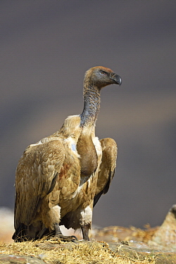 Cape Vulture (Gyps coprotheres) with full crop, Giant's Castle National Park, KwaZulu-Natal, South Africa
