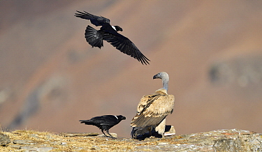 Cape Vulture (Gyps coprotheres) mobbed by White-necked Ravens (Corvus albicollis), Giant's Castle National Park, KwaZulu-Natal, South Africa