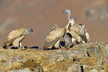 Cape Vulture (Gyps coprotheres) group at feeding station, Giant's Castle National Park, KwaZulu-Natal, South Africa