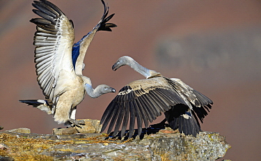 Cape Vulture (Gyps coprotheres) pair fighting at feeding station, Giant's Castle National Park, KwaZulu-Natal, South Africa