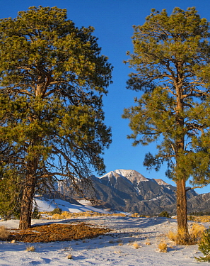 Ponderosa Pine (Pinus ponderosa) trees and Mount Herard, Great Sand Dunes National Park, Colorado