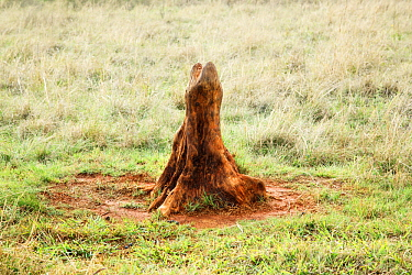 Tree stump used by wildlife to scratch themselves, Rietvlei Nature Reserve, South Africa