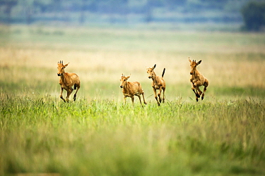 Common Hartebeest (Alcelaphus buselaphus) calves playing, Rietvlei Nature Reserve, South Africa