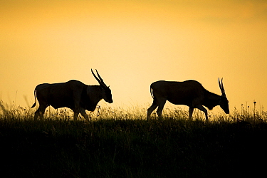 Eland (Taurotragus oryx) male and female at sunset, Rietvlei Nature Reserve, South Africa