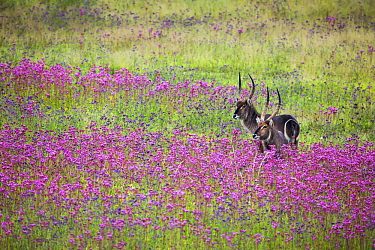 Waterbuck (Kobus ellipsiprymnus) males in Pompom Weed (Campuloclinium macrocephalum) field, Rietvlei Nature Reserve, South Africa