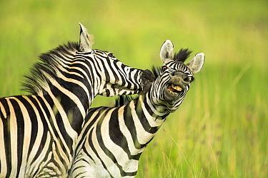 Burchell's Zebra (Equus burchellii) stallions fighting, Rietvlei Nature Reserve, South Africa