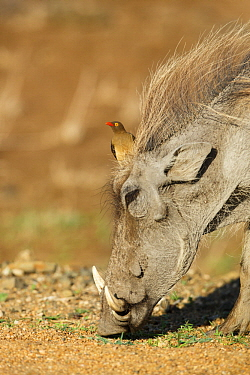 Warthog (Phacochoerus africanus) with Red-billed Oxpecker (Buphagus erythrorhynchus), Kruger National Park, South Africa