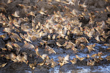 Red-billed Quelea (Quelea quelea) flock at waterhole, Kruger National Park, South Africa