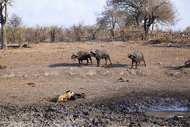 African Lion (Panthera leo) female killing Cape Buffalo (Syncerus caffer) while herd is counter-attacking, Kruger National Park, South Africa, sequence 17 of 17