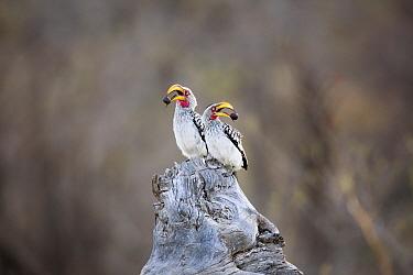 Eastern Yellow-billed Hornbill (Tockus flavirostris) pair, Kruger National Park, South Africa
