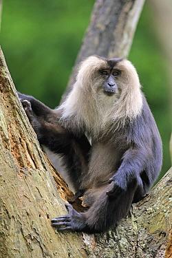 Lion-tailed Macaque (Macaca silenus), Singapore Zoo, Singapore