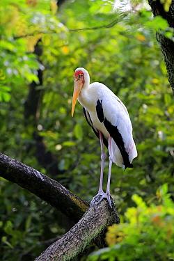 Painted Stork (Mycteria leucocephala), Singapore Zoo, Singapore