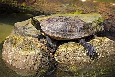 Chinese Stripe-necked Turtle (Ocadia sinensis), Singapore Zoo, Singapore