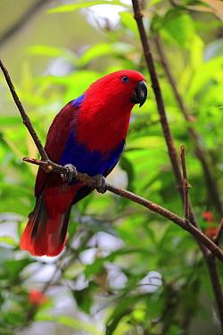 Eclectus Parrot (Eclectus roratus) female, Singapore Zoo, Singapore