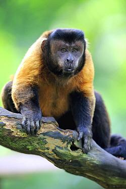 Brown Capuchin (Cebus apella), Singapore Zoo, Singapore