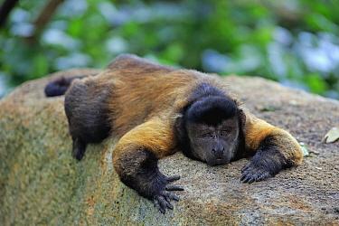 Brown Capuchin (Cebus apella) resting, Singapore Zoo, Singapore