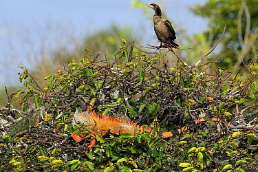 Neotropic Cormorant (Phalacrocorax brasilianus) and introduced Green Iguana (Iguana iguana) male, Wakodahatchee Wetlands, Florida