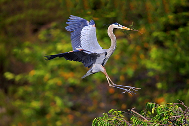 Great Blue Heron (Ardea herodias) landing with nesting material, Wakodahatchee Wetlands, Florida. Sequence 1 of 3