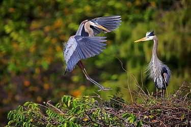 Great Blue Heron (Ardea herodias) landing with nesting material, Wakodahatchee Wetlands, Florida. Sequence 2 of 3