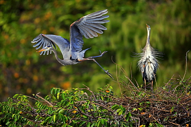 Great Blue Heron (Ardea herodias) taking flight from nest while partner displays, Wakodahatchee Wetlands, Florida. Sequence 3 of 3
