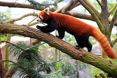 Lesser Panda (Ailurus fulgens) climbing tree, Singapore Zoo, Singapore