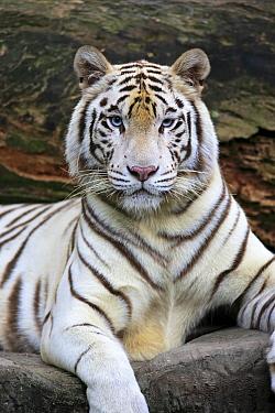 Bengal Tiger (Panthera tigris tigris), white morph, Singapore Zoo, Singapore