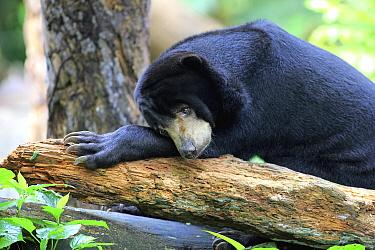 Sun Bear (Helarctos malayanus) resting, Singapore Zoo, Singapore