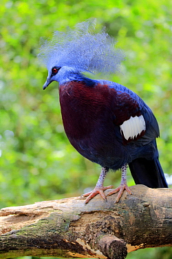 Southern Crowned-Pigeon (Goura scheepmakeri), Singapore Zoo, Singapore