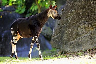 Okapi (Okapia johnstoni), Singapore Zoo, Singapore