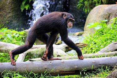 Chimpanzee (Pan troglodytes) sub-adult running, Singapore Zoo, Singapore