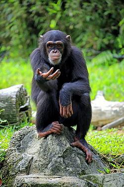 Chimpanzee (Pan troglodytes) sub-adult begging for food, Singapore Zoo, Singapore