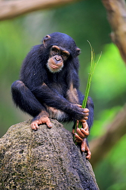 Chimpanzee (Pan troglodytes) young using tool to forage, Singapore Zoo, Singapore. Sequence 1 of 2