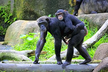 Chimpanzee (Pan troglodytes) mother carrying young, Singapore Zoo, Singapore