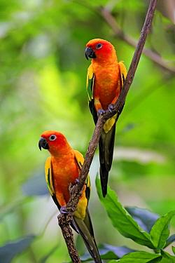 Sun Parakeet (Aratinga solstitialis) pair, Singapore Zoo, Singapore