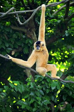 Buff-cheeked Gibbon (Nomascus gabriellae) female hanging in tree, Singapore Zoo, Singapore