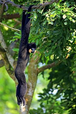 Buff-cheeked Gibbon (Nomascus gabriellae) male hanging in tree, Singapore Zoo, Singapore