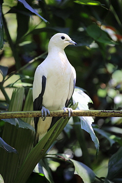 Pied Imperial-Pigeon (Ducula bicolor), Singapore Zoo, Singapore