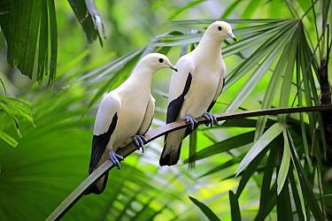 Pied Imperial-Pigeon (Ducula bicolor) pair, Singapore Zoo, Singapore
