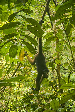 White-bellied Spider Monkey (Ateles belzebuth) hanging in tree, Amazon, Ecuador