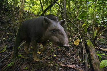 Brazilian Tapir (Tapirus terrestris) in rainforest, Ecuador