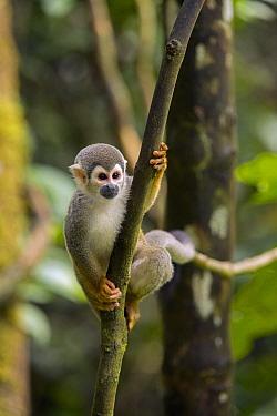 South American Squirrel Monkey (Saimiri sciureus), Ecuador