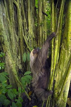 Hoffmann's Two-toed Sloth (Choloepus hoffmanni) climbing tree, Ecuador